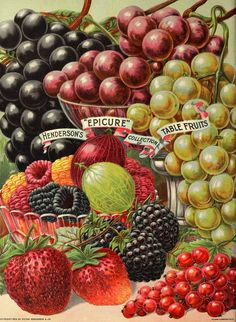 Illustration - Fruit Varieties - Grapes, Strawberries, Raspberries and Currants circa 1902 - Peter Henderson Co.