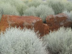 Calocephalus brownii shrubs are very tough and attractive perennials native to Australia. Calocephalus brownii shrubs are also known as silver bush or cushion bush. Bush Garden, Garden Shrubs, Landscaping Plants, Garden Plants, House Plants, Gravel Garden, Australian Native Garden, Australian Plants, Australian Bush