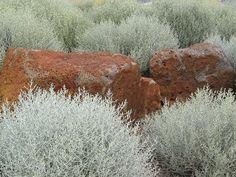 Leucophyta brownii - silver cushion bush. Australian native.