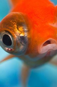goldfish. :) scuba googles and flipper