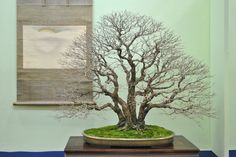From our Top #Bonsai gallery at www.bonsaiempire....    Enjoy!