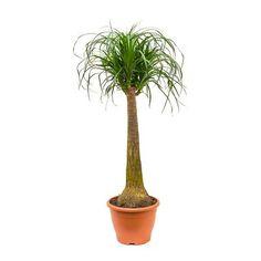Beaucarnea - Pony Tail Palm - Single Stem - 29 x Pony Tail Palm, Indoor Palms, Sago Palm, Tall Planters, Indoor Plant Pots, Plant Decor, Houseplants, Plant Hanger, Ponytail