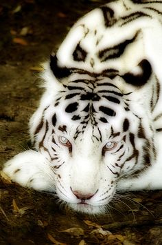 White tiger, the pattern on this tiger is gorgeous