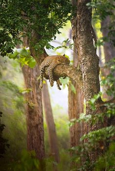 This reminds me of Bagheera from The Jungle Book. My favorite when I was a child. <3 Sleeping leopard