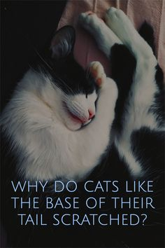 Why do cats like the base of their tail scratched? Have you experienced cats arching their back and butt when you pet them at the bottom of their tail? And have you seen enjoying it? Let's see why.Cats health problems, cats health issues, cats health tips, cats health remedies, cats health care, indoor cats health, holistic cats health, natural cats health, outdoor cats health, cat health remedies, cat health problem signs, cat health care, cat health issues Cat Health Care, Health Tips, Indoor Cats, Cat Behavior, All About Cats, Love Pet, Animal Memes, Health Problems, Health Remedies
