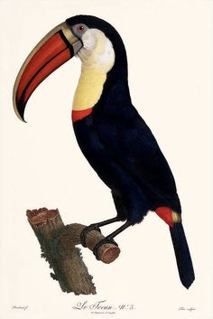 heaveninawildflower:     Toucan (1801-1805) by Jacques Barraband (1767–1809) taken from 'Histoire Naturelle des Promerops' by François Levaillant.  Source - http://www.audubonhouse.org/barraband/barrapics.cfm?PageNum_rs=1 via Wikimedia.