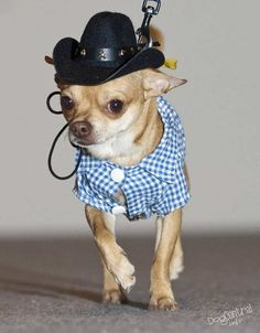 99.9% sure our chihuahuas would NOT tolerate the hat.  Too bad though cause it's stinkin' cute!
