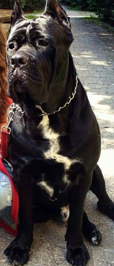 Cane Corso - look at that face!