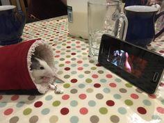 My friends rat enjoying a movie and some popcorn - Imgur