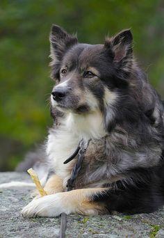 Finnish Lapphund, by Sanunas via Flickr - Suomenlapinkoira. Me: Looks a bit like my Lola. (Husky / German Shepherd / Wolf) ~ dh.