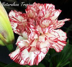 Variedad de una flor del Clavel Español, Dianthus caryophyllus