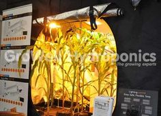 Baby Sweetcorn Grown in a Mammoth Tent under Gavita Lights! GroWell Hydroponics Hockley Heath