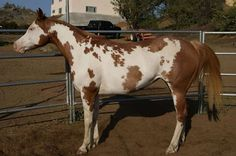 old mare, proven (color producer; carbon-copy filly) that is as sweet as they come. North America, Paint Horses, Donkeys, White Patterns, Beautiful Horses, American, Gallery, Painting, Animals