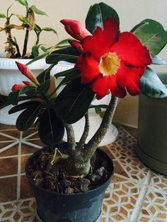Desert Rose, Friends, Desert Flowers, Gardens, Bonsai Trees, Plant, Amigos, Boyfriends, True Friends