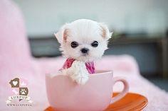 Maltese Teacup