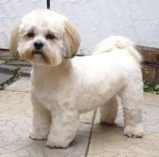 lhasa apso puppies  Love the legs done sissor cut, balances out their tiny legs. #cuteness