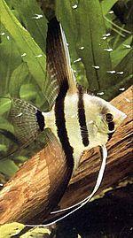 Süßwasserfisch, Skalar
