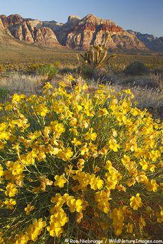 PAPER DAISY PHOTOS  Psilotrophe cooperi  Paper Daisy wildflowers with Bridge Mountain, Red Rock Canyon, Las Vegas, Nevada.
