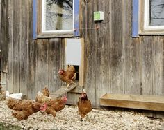 Chicken Runs, Farm Life, Rooster, Painting, Animals, Birds, Openness, Automatic Doors, Nest Box