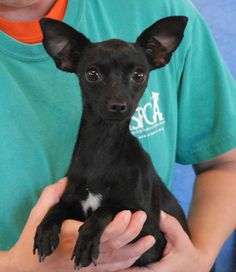 Janis is a very petite junior puppy who loves to sleep curled up against your shoulder.  She is a dainty Chihuahua with cute, bat-like ears, under 1 year of age, good with cats & dogs, now spayed and debuting for adoption at Nevada SPCA (www.nevadaspca.org).  Janis was found abandoned in the desert not far from Pahrump.  Though still a baby herself, Janis was pregnant, and we placed her in a loving foster home where she raised her 5 babies.