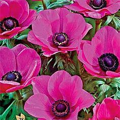 """Poppy Anemone Sylphide - Bring out the butterflies as you create striking front borders with these long-lasting, daisy-like blooms! Attractive 2"""" magenta-pink flowers sit atop green ferny foliage that grows up to 14"""" tall in warm, dry areas. Stunning in front borders and rock gardens, especially when planted alongside other spring perennials, the single flowers are equally charming in cut flower bouquets."""