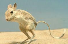 World of Animals: Gobi Jerboa