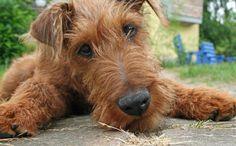 how can you not love an irish terrier?