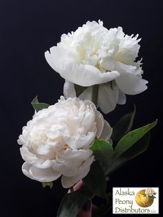 The subtle shading difference between a Duchess de Nemours peony (above) and a White Avalanche peony (below)