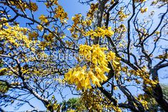 Kowhai flowers hanging from mature Kowhai tree (Spohora microphylla) in spring…