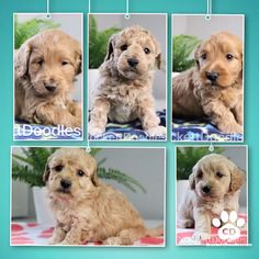 Crockett Doodles - Family Raised Doodle Puppies for Sale Puppies For Sale, Dogs And Puppies, Dog Cuddles, Goldendoodle Puppy For Sale, Dog Poses, Online Pet Supplies, Dog Accessories, Dog Owners, Cute Animals