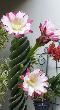 Beautiful cactus succulents for outdoor planters and pots DIY flower pots are a great way to add some character to your flowers both indoors and outdoors. Succulent Gardening, Cacti And Succulents, Planting Succulents, Planting Flowers, Flowers Garden, Garden Plants, Tree Garden, Unusual Flowers, Unusual Plants