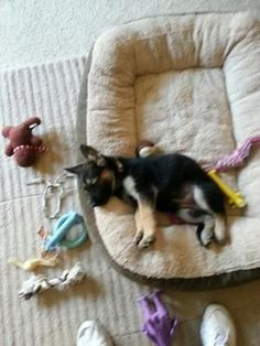 German Shepherd puppy Elsa: We picked up our puppy on New Years Eve. She was 4 lbs 4 oz when we got her and now at 9 weeks she is 9lbs 8oz. She is so much fun and energic. We #germanshepherd