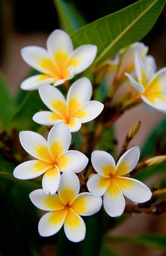 Flores Discover Untitled by torishaa Its only a story no need for such seriousness. Beautiful Flowers Wallpapers, Beautiful Rose Flowers, Flowers Nature, Amazing Flowers, Pretty Flowers, Purple Flowers, Flores Plumeria, Plumeria Flowers, Tropical Flowers
