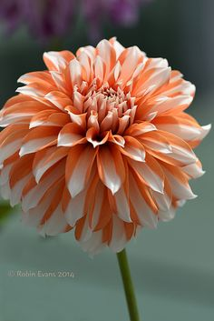~~Butterscotch Beauty | Hollyhill Butterscotch Dahlia. Bicolor orange and white tall growing stellar dahlia | by Robin Evans~~