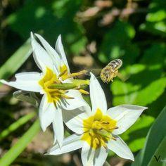 Anflug  #Garten #Gartenliebe #tulpen #tulpe #tulpenliebe #tulips #tulip #blackandwhitephotography #tulpenzeit #tulipa #bloom #blooms #Gartenglück #Gartenzeit #Gartenträume #Gärten #Blume #Blumen #Blumenliebe #Blumenfotografie #blumenzauber #nature  #naturelover  #naturephotography  #flowers #flower #naturesbeauty  #naturelove  #PictureoftheDay  #photooftheday