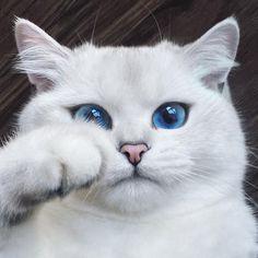coby gato ojos azules                                                                                                                                                                                 Más