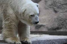 """This story has shaken me to the core. I've seen the video of how he was displaying signs of increasingly going insane. I could vomit from the fact that once again, as humans, """"we"""" couldn't help this polar bear. It just shouldn't have happened. I think of it this way, zoos are prisons  for some amazing creatures"""