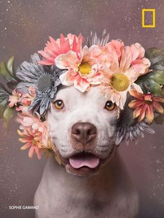 """트위터의 Nat Geo Photography 님: """"Amazing photos of pit bulls showing off their…"""
