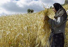 Femme en train de couper les blés à la faussile dans la région de Ain Draham en tunisie