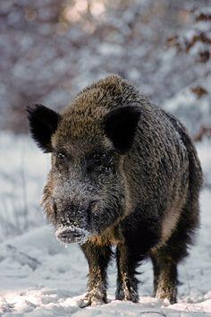 Wildschweinkeiler im Winterwald beobachtet aufmerksam den Fotografen - (Schwarzkittel - Wildschwein), Sus scrofa, Wild Boar tusker in winter forest observing alert the photographer - (Wild Hog - Feral Pig)