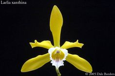 Laelia xanthina - Orchid Forum by The Orchid Source