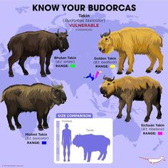 Know Your Budorcas The Budorcas genus is monotypic and contain just one species, the fascinating… – disguised-interpret Zoo Animals, Animals And Pets, Cute Animals, Types Of Animals, Animals Of The World, Feeling Pictures, Terrarium Reptile, Animals Information, Les Reptiles