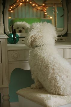 poodle mirror on the wall, whose the fairest Dog of all? Bichon Dog, Maltese Dogs, Poodles, Cute Puppies, Dogs And Puppies, Doggies, Animals And Pets, Baby Animals, White Dogs