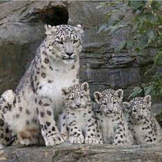 Facts About Baby Snow Leopard / Snow Leopard Cubs Baby Snow Leopard, Leopard Cub, Leopard Kitten, Big Cats, Cats And Kittens, Cute Cats, Nature Animals, Animals And Pets, Wild Animals