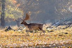 fallow deer (Vladimir Maric / Copenhagen / Danmark) #NIKON D7100 #animals #photo #nature