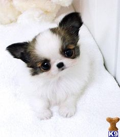 Chihuahua Puppies for Free | Baby Puppies Free on Chihuahua Male Available 1 888 743 0325 Chihuahua ...