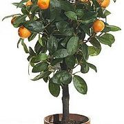 How to Start and Grow an Ornamental Indoor Citrus Tree | eHow