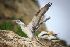Cape Kidnappers – New Zealand's most beautiful bird colony