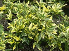Shrubs Aucuba - 10 Best Small Evergreen Shrubs: Flowering and Foliage - EnkiVillage - Shrubs can add ample color and energy to your garden. The 10 best small evergreen shrubs recommended can provide a charming environment all year round. Shade Evergreen Shrubs, Full Sun Shrubs, Evergreens For Shade, Evergreen Bush, Shade Shrubs, Bushes And Shrubs, Evergreen Garden, Small Shrubs For Shade, Dwarf Shrubs