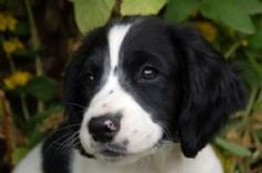 English Springer Spaniel Breed Information & Pictures ( Earlier known as the Norfolk Spaniel. )